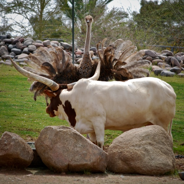 Watusi Cattle and Ostrich Showdown.jpg