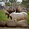 Watusi Cattle and Ostrich Showdown